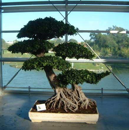 Bonsai ou penjing tao yin - Bonsai arbre prix ...