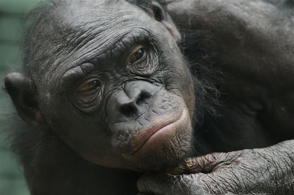 Bonobo songeur