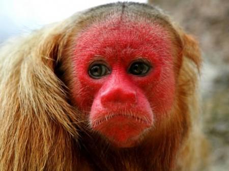 Cul de singe rouge