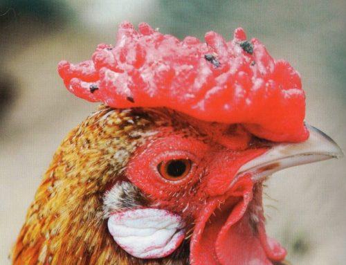 Nouvel an chinois, nouvelle page du Coq de Feu !