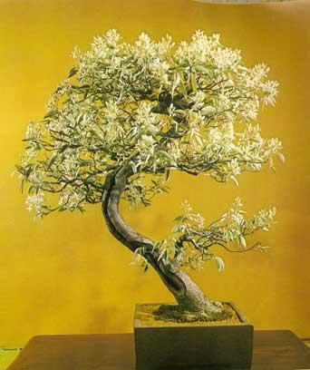 bonsai_5b