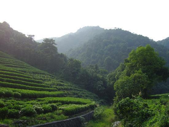 Collines de production du thé Long Jing