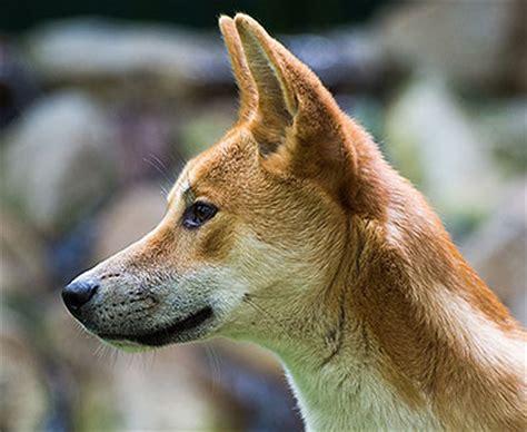 chien jaune 3