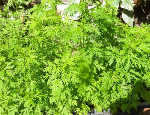 Artemisia Annua : une histoire sans fin